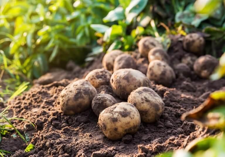 hamilelikte patates tüketmek