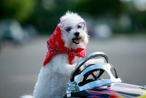 kıyafet giydirilmiş küçük köpek