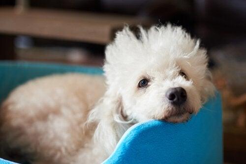 mavi koltukta yatan küçük köpek