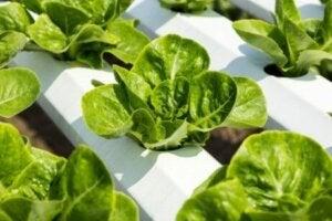 Hidroponik sistemde büyüyen bitkiler