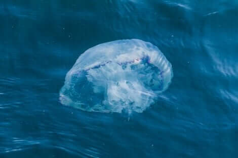 yüzen denizanası